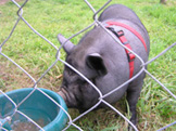 Dunbrody Country House Hotel & Restaurant, Co. Wexford, Ireland - Kevin's Pet Pig